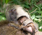 Title: Baboons and baby