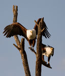 Title: Fish Eagle