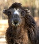 Title: Wild Bactrian Camel