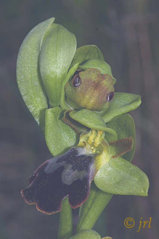 Ophrys fusca...