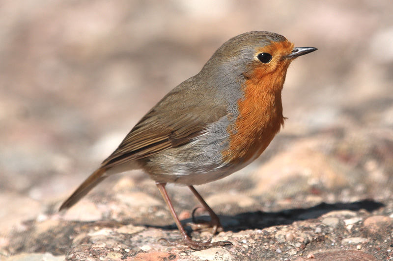The sprained-foot robin