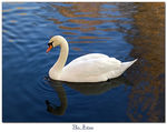 Title: The Swan