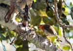 Title: Robin on Carob Tree