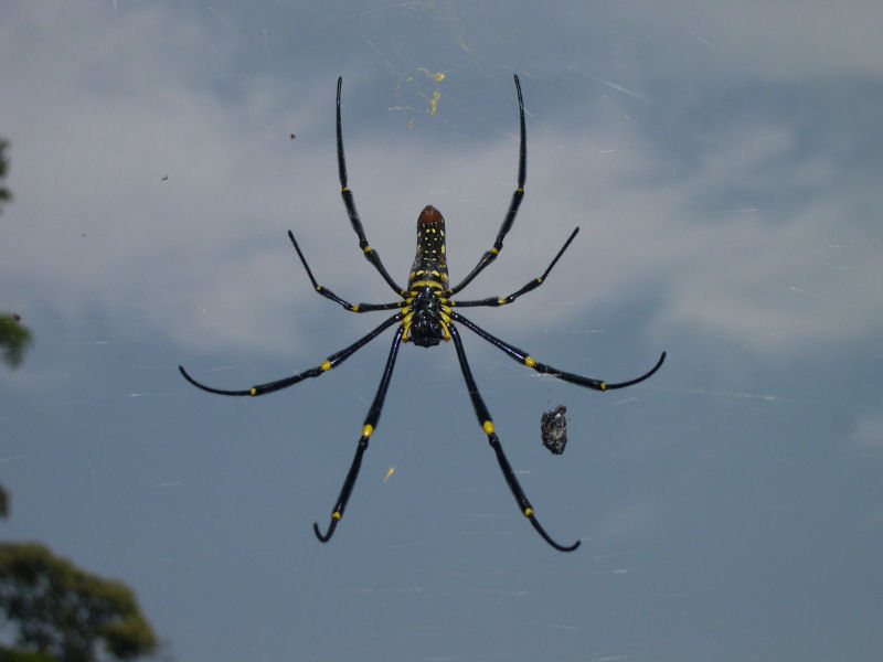 Spider on Penang Hill