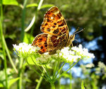 Title: Mountain butterfly-5