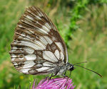 Title: Mountain butterfly 28