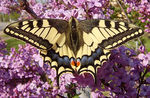 Title: Swallowtail on lilac