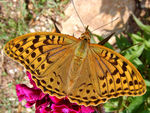 Title: Mountain buterfly-4