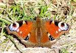 Title: Mountain butterfly-11