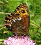 Title: Mountain butterfly 24