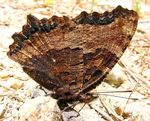 Title: Mountain butterfly-6