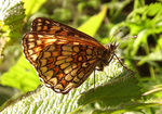 Title: Mountain butterfly-7
