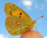 Title: Mountain butterfly 30