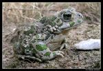 Title: MILITARY TOADNikon Coolpix 5400