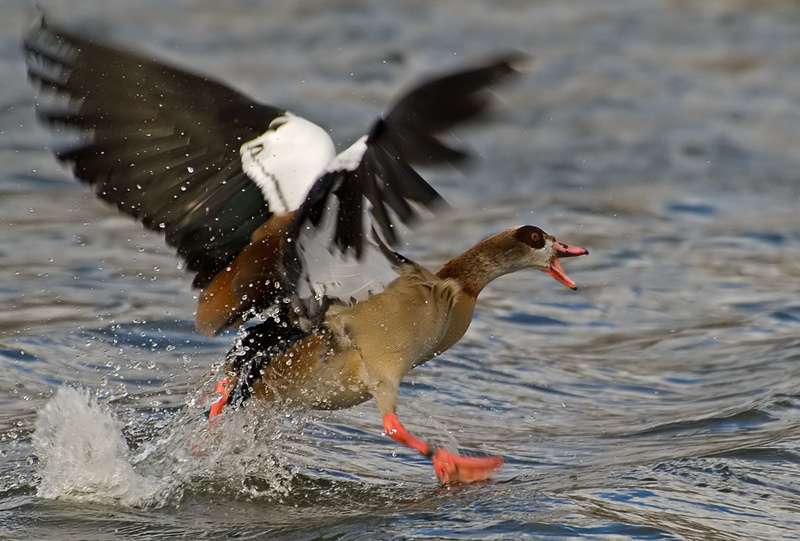 Goose in a Flap