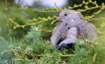 Title: Baby Pigeon