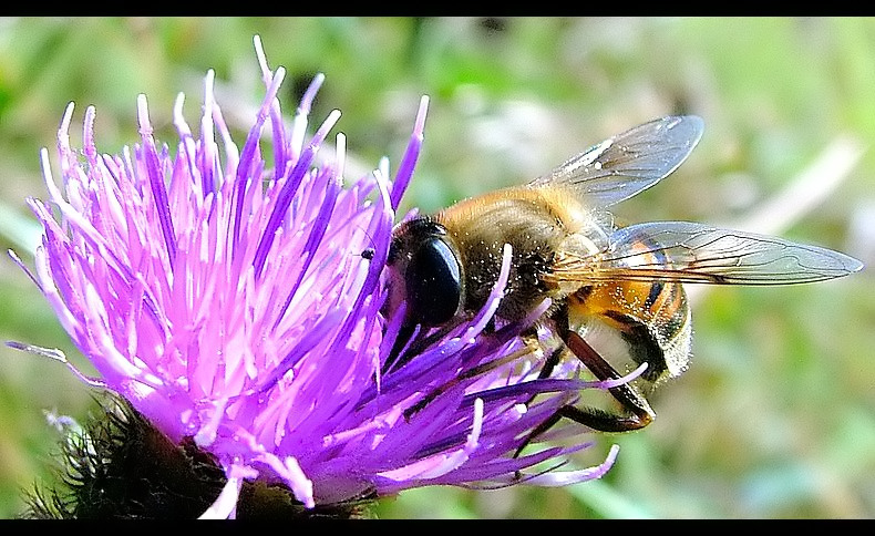 Busy Hoverfly
