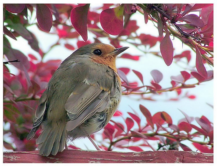 Robin in the Red Tree