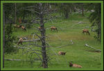 Title: Grazing in Yellowstone