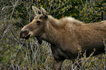 Title: Young Bull Moose