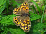 Title: Lasiommata Megera-Wall Brown