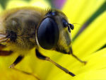Title: hover fly macro