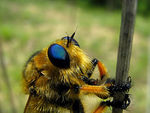 Title: blue eyed robber fly macro