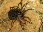 Title: wolf spider (Lycosidae) and its kidsCanon PowerShot S5 IS