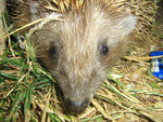 Title: face of Hedgehod