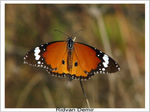 Title: Danaus chrysippusCanon PowerShot S5 IS