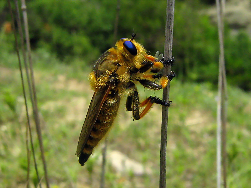 blue eyed robber fly
