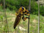 Title: blue eyed robber fly