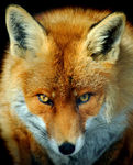 Title: Look fox