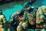 Title: Giant clam and anemons