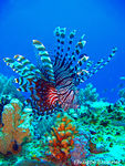 Title: Lion Fish