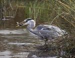 Title: Heron with Pike