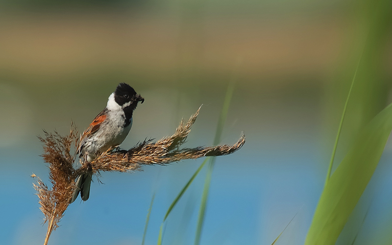 The Reed Bunting