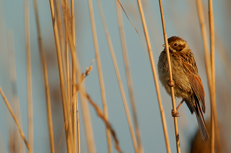 The Reed Bunting - Young