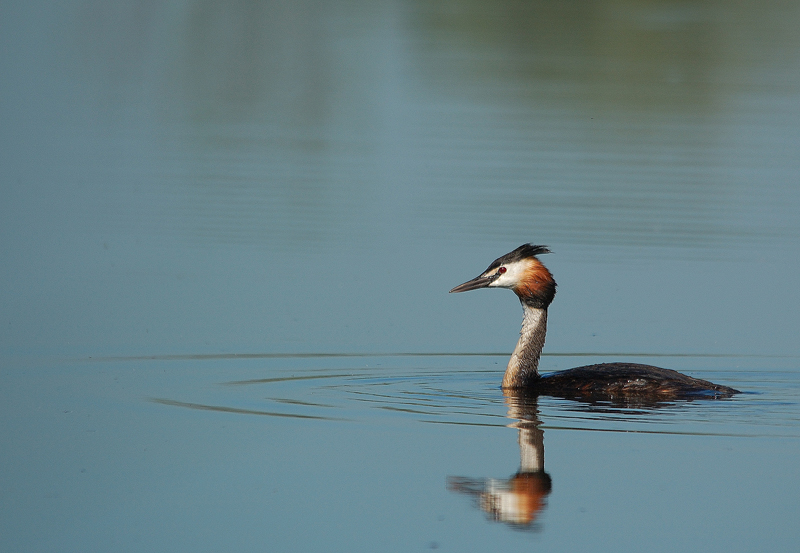 The Great Crested Grebe