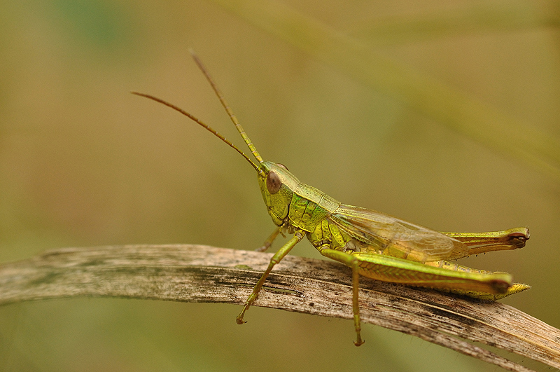 Large gold grasshopper