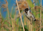 Title: The Reed Bunting