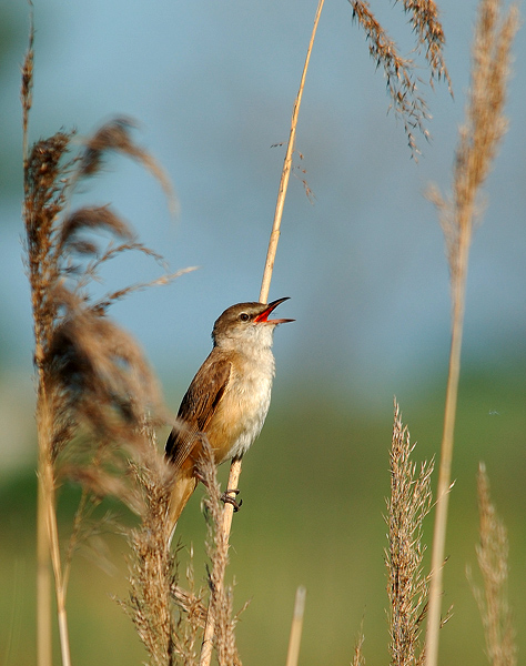The Great Reed Warbler
