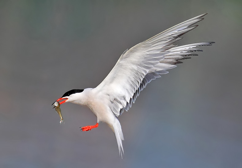 Common Tern2