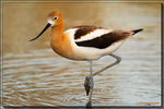 Title: American Avocets