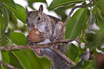 Title: Squirrel eating a nut