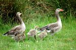 Title: Goose family