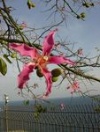 Title: Flower of the floss silk tree