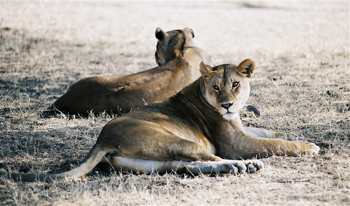 Mirrored lions