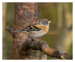 Title: Brambling.Canon EOS 1Ds MkII