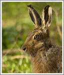 Title: Brown Hare.Canon EOS 1Ds MkII